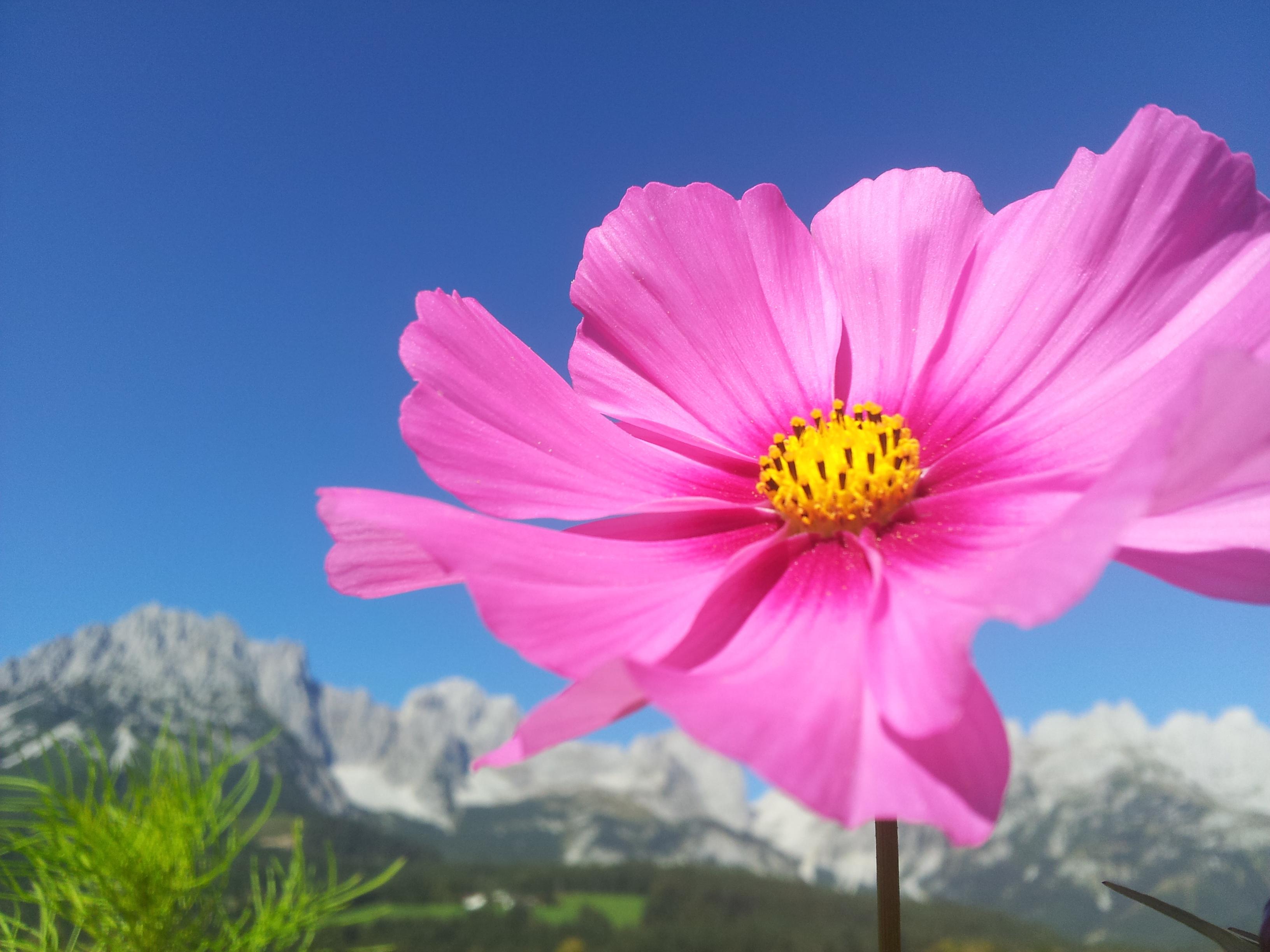 fleur rose devant la montagne